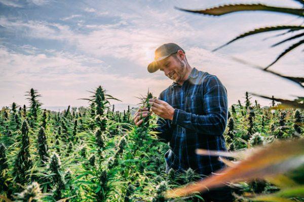 Faire pousser le cannabis dans votre jardin
